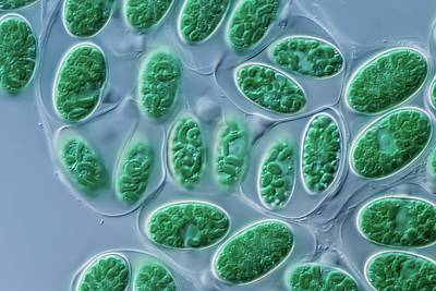 Glaucocystis Algae Print by Gerd Guenther