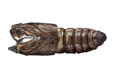 Goat Moth Pupa Print by F. Martinez Clavel