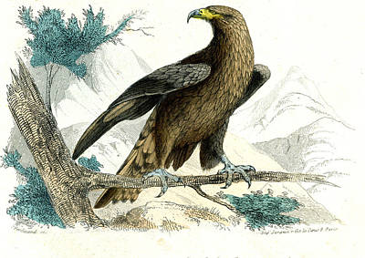 Golden Eagle Photograph - Golden Eagle by Collection Abecasis