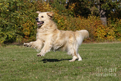 Golden Retriever Print by Jean-Michel Labat
