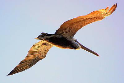 Lone Pelican Photograph - Golden Wings by AJ  Schibig