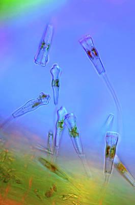 Frustule Photograph - Gomphonema Diatoms by Marek Mis