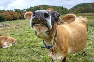 Cow Photograph - Good Moooooorning by Donna Doherty