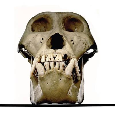 Gorilla Skull Print by Ucl, Grant Museum Of Zoology