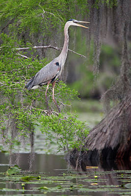 Ditto Photograph - Great Blue Heron (ardea Herodias by Larry Ditto