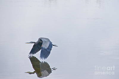 Washington Photograph - Great Blue Heron In Flight by Sean Griffin
