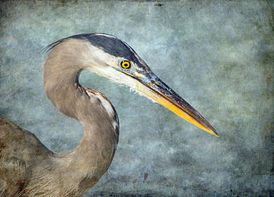Great Blue Heron Portrait Print by Angie Vogel