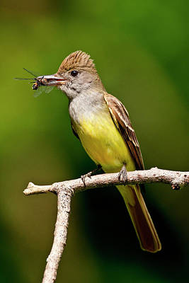 Flycatcher Photograph - Great Crested Flycatcher Myiarchus by David Northcott