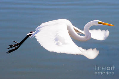 Great Egret In Flight Print by Thomas Marchessault