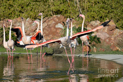 Fly Photograph - Greater Flamingos by George Atsametakis