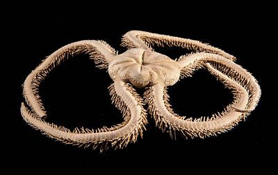 Marine One Photograph - Green Brittle Starfish by Natural History Museum, London