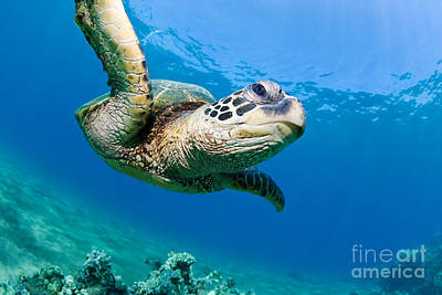 Sea Turtle Photograph - Green Sea Turtle - Maui by M Swiet Productions