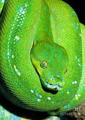 Burmese Python Photograph - Green Tree Python by Millard H. Sharp