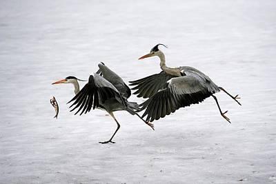 Waterbirds Photograph - Grey Herons Fighting Over A Fish by Bildagentur-online/mcphoto-schulz
