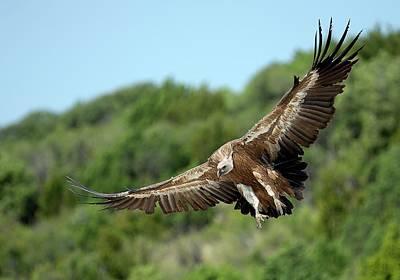 Griffon Vulture Print by Nicolas Reusens