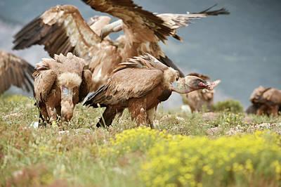 Griffon Photograph - Griffon Vultures Scavenging by Dr P. Marazzi
