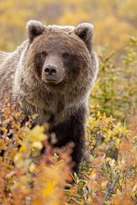 Grizzly Bear In Autumn Print by Tim Grams