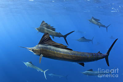 Group Of Sailfish Swimming In Blue Tropical Ocean Waters Print by Brandon Cole