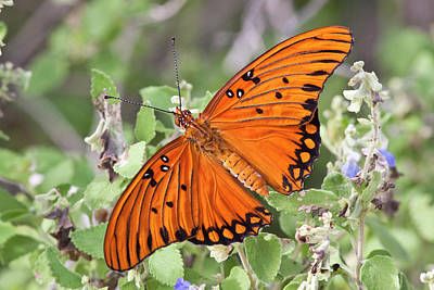 Gulf Fritillary (agraulis Vanillae Print by Larry Ditto