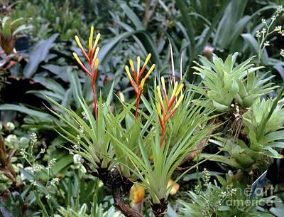 Epiphyte Photograph - Guzmania Dissitiflora by Vaughan Fleming