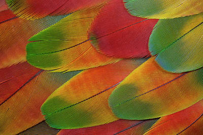 Macaw Photograph - Harlequin Macaw Wing Feather Design by Darrell Gulin