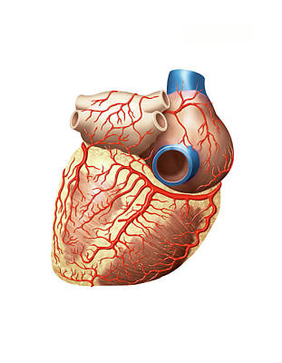 Heart And Right Coronary Artery Print by Asklepios Medical Atlas