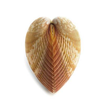 Heart Cockle Shell Print by Science Photo Library