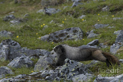 Hoary Marmot Print by Mark Newman
