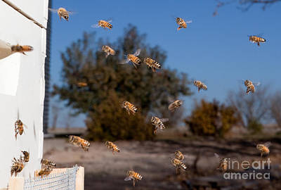 Horizontal Photograph - Honey Bees And Beehive by Cindy Singleton