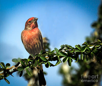 House Finch Photograph - House Finch by Robert Bales