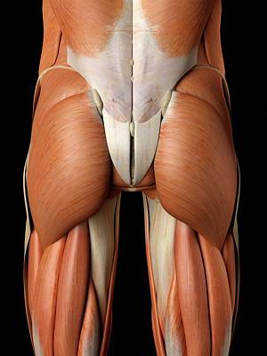Buttocks Photograph - Human Buttock Muscles by Sciepro