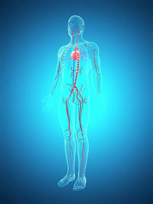 Human Internal Organ Photograph - Human Cardiovascular System by Sebastian Kaulitzki