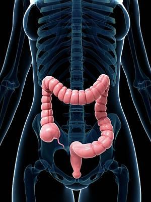 Human Internal Organ Photograph - Human Intestine by Sebastian Kaulitzki