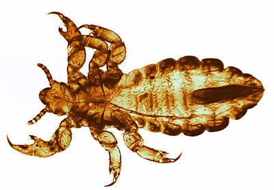 Human Louse, Lm Print by Eric V. Grave