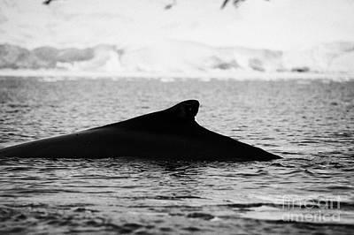 Raising Photograph - humpback whale raising its dorsal fin above surface of wilhelmina bay Antarctica by Joe Fox