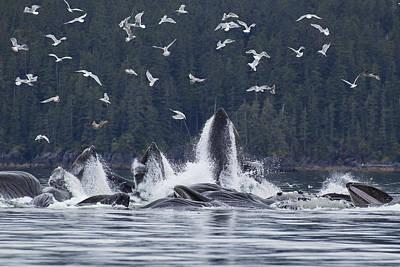 Humpback Whales Bubble Net Feeding For Print by John Hyde