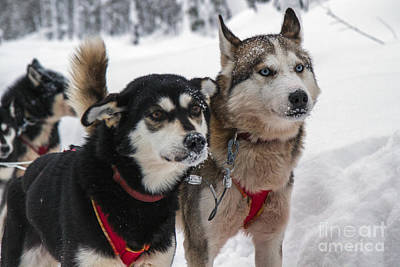 Husky Dogs Pull A Sledge  Print by Lilach Weiss