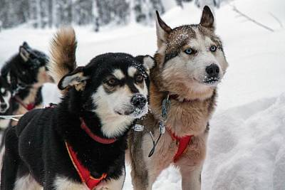 Husky Dogs Pull A Sledge Print by Photostock-israel