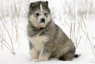 Husky Puppy Dog Print by M. Watson