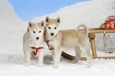 Husky Puppy Dogs Print by John Daniels