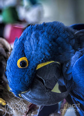 Hyacinth Macaw Print by Melissa Messick