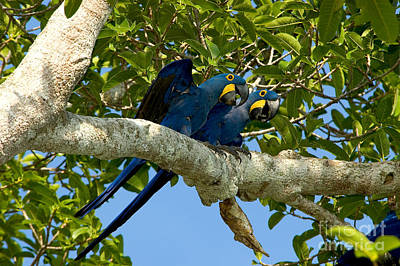 Macaw Photograph - Hyacinth Macaws, Brazil by Gregory G. Dimijian, M.D.