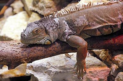 Central American Wildlife Photograph - Iguana On A Branch by Heiti Paves