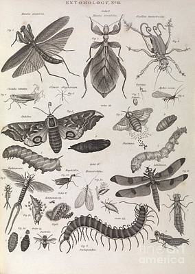 Mayfly Photograph - Insect Illustrations, 1823 by Middle Temple Library