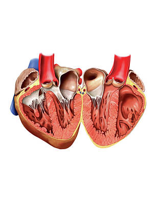 Internal View Of The Heart Print by Asklepios Medical Atlas