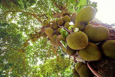 Jak Photograph - Jackfruit Tree With Fruit Growing by Ktsdesign