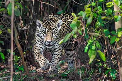 Wetlands Photograph - Jaguar Panthera Onca, Pantanal by Panoramic Images