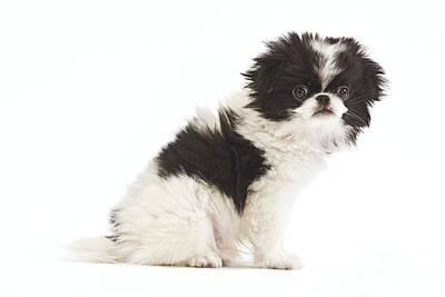 Japanese Chin Photograph - Japanese Chin Puppy by Jean-Michel Labat