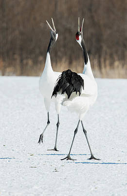 Pairings Photograph - Japanese Cranes Displaying by Dr P. Marazzi