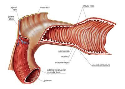 Jejunal Mucosa Relief Print by Asklepios Medical Atlas